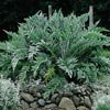 CARDOON***MEDICINAL*HEIRLOOM HERB****100 SEED