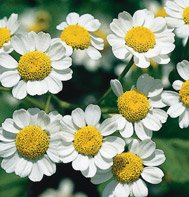 FEVERFEW***MEDICINAL HERB**HEIRLOOM**200 SEED