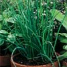 CHIVES*********HEIRLOOM***************1,000 SEED