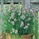 CHIVES***GARLIC*****HEIRLOOM**********500 SEED
