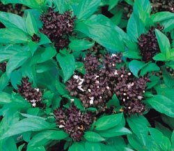 BASIL***THAI SIAM*****HEIRLOOM********100 SEED