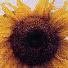SUNFLOWER**LYNG'S CALIFORNIA GREYSTRIPE**HEIRLOOM & ORGANIC***50 SEED