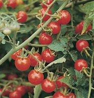 TOMATO**MATT'S WILD CHERRY**HEIRLOOM & ORGANIC**50 SEED