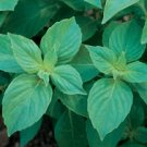 BASIL**MRS. BURNS LEMON**HEIRLOOM & ORGANIC***100 SEED