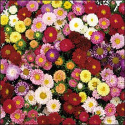 CHINESE ASTER**MATSUMOTO MIX**HEIRLOOM**75 SEED
