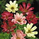 COSMOS*SEASHELL MIX**HEIRLOOM***50 SEED