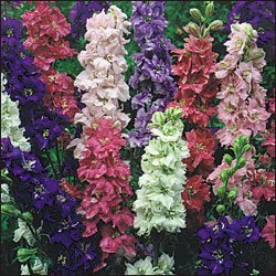DELPHINIUM*GIANT IMPERIAL LARKSPUR*HEIRLOOM**100 SEED