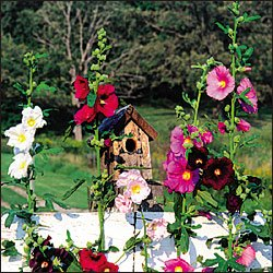 OUTHOUSE HOLLYHOCK***HEIRLOOM & ORGANIC**30 SEED