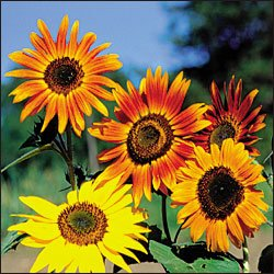 SUNFLOWER**AUTUMN BEAUTY***HEIRLOOM****50 SEED