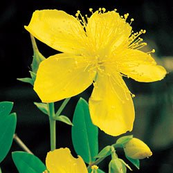ST. JOHNSWORT***MEDICINAL**HEIRLOOM**500 SEED