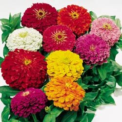 ZINNIA**BENARY'S GIANT***HEIRLOOM*******50 SEED