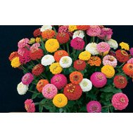 ZINNIA**SUNBOW MIX****HEIRLOOM*****150 SEED