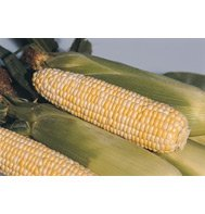 CORN*BI-COLOR SWEET**X-TRA TENDER****50 SEED