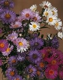 ASTER-BENARY'S COMPOSITION MIX***25 SEED