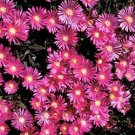 DELOSPERMA*TABLE MOUNTAIN (ICEPLANT)***50 SEED