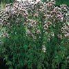 OREGANO****HEIRLOOM***100 SEED