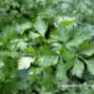 PARSELY-ITALIAN PLAIN LEAF***HEIRLOOM***200 SEED