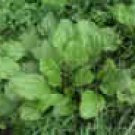 PLANTAIN***HERB**HEIRLOOM***25 SEED