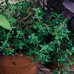 THYME-ENGLISH***HEIRLOOM***250 SEED