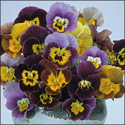 VIOLA-HISTORICALPANSIES MIX***HEIRLOOM***25 SEED