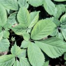 GINSENG-AMERICAN*****100 SEED