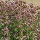 MARJORAM-WILD*********25,000 SEED