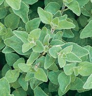OREGANO-GREEK*****30,000 SEED