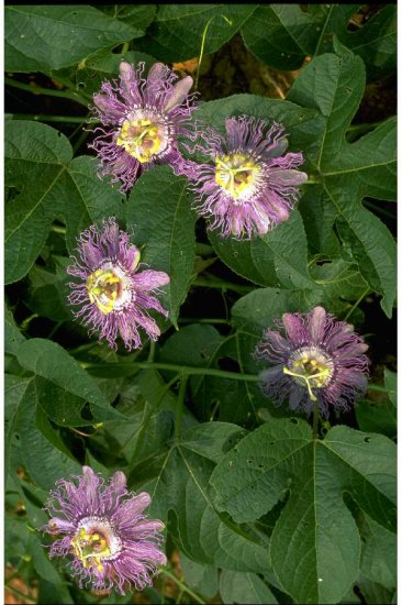 PASSION FLOWER*********15 SEEDS