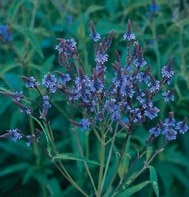 VERVAIN-BLUE********25,000 SEED