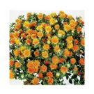 CARTHAMUS (SAFFLOWER)***ORGANIC*****125 SEED