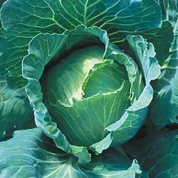 CABBAGE-COPENHAGEN MARKET***HEIRLOOM*****700 SEED