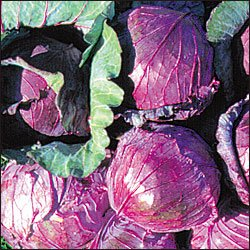 CABBAGE_MAMMOTH RED ROCK***HEIRLOOM****700 SEED