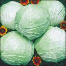 CABBAGE-PREMIUM LATE FLAT DUTCH***HEIRLOOM***700 SEED