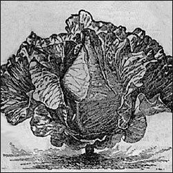 CABBAGE-WINNINGSTADT***HEIRLOOM*****700 SEED