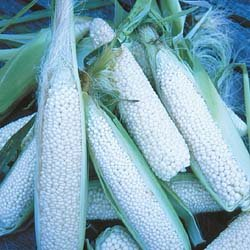 CORN-COUNTRY GENTLEMEN***HEIRLOOM & ORGANIC*****250 SEED
