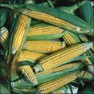CORN-GOLDEN BANTAM IMPROVED***HEIRLOOM & ORGANIC****250 SEED