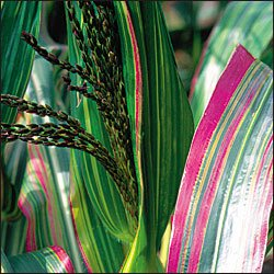 CORN-JAPONICA STRIPED**HEIRLOOM & ORGANIC****125 SEED