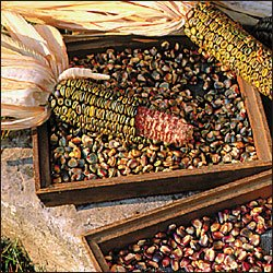CORN-OAXACAN GREEN DENT**8HEIRLOOM****300 SEED