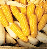 CORN-TOM THUMB POPCORN**HEIRLOOM & ORGANIC***250 SEED
