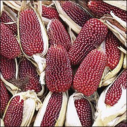 CORN-TWO INCH STRAWBERRY POPCORN**HEIRLOOM & ORGANIC***250 SEED