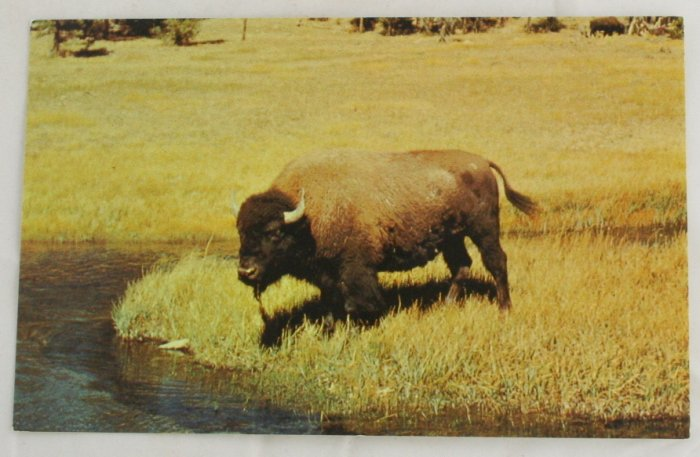 """Young Bull Bison"" 50s VINTAGE POSTCARD Yellowstone"