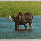 """Bull Moose"" 50s VINTAGE POSTCARD Yellowstone"
