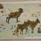 White Border-VINTAGE POSTCARD-Yellowstone-Mountain Sheep