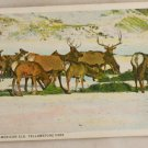 White Border-VINTAGE POSTCARD-Yellowstone-American Elk