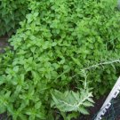 Orange mint plant, Mentha x spicata