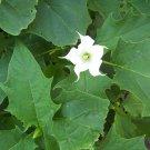 Jimson weed, Datura stramonium x var tatula