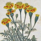 Yellow and Orange Marigold Botanical Framed Robert Sweet Art Print