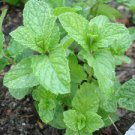 Organic Mint herb plant - Never used any chemical to grow them 3 strands package
