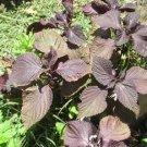3 Organic Perilla Plants (Shiso,purple leave zisu, zǐ sūe