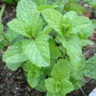 4 Organic live Mint herb plants with roots - Never used any chemical to grow